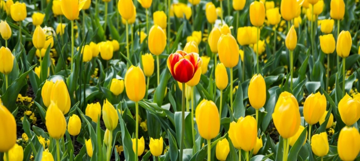 red tulip in yellow tulips2